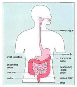 Digestive System according to Crohns and Colitus UK.  I'd prefer each label to just say